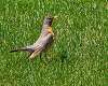 Backyard Robin and Sparrow