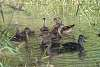 Wood Duck hen and her brood