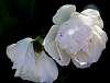 Do White Roses get Measles?
