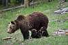 Wildlife in Yellowstone Park