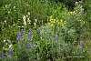 Some Waterton Wild Flowers