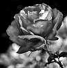 Tonal Rose...........