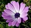 Lavender Daisey..............