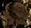 Bronze Rose.............