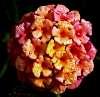 Wet Lantana Flower