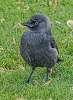 juvenile jackdaw