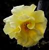 Pale soft Yellow.........