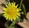 Milkweed Flower................