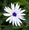 White Daisy..............