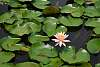 Flowered Lotus in the Pond of the Park [NEED ADVICE]