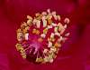 Pink Hibiscus Stamen.......
