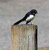 WillyWagtail on a post