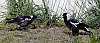 Two young Magpies at play............