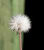 A Dandelion Seed Pod............