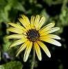 Dandelion flower............