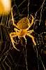 Spider Eating Dinner