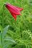 Rare Roan Lilies
