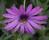 Bees love Purple Daisies.........