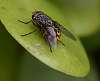 Yellow Tailed Fly............