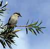 Small native Honeyeater...............