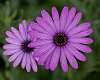Two Purple Daisies..........