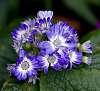 Cornflower Blue..............