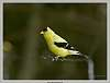 Like a bird on a wire- Goldfinch Day