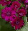Maroon Flowers..........