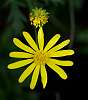 Yellow Daisy........................