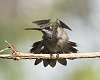 A few hummingbirds from this season...