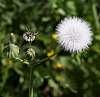 Milkweed Buds and Seedpod
