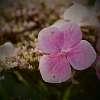 A Bell Flower, I believe.