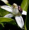 Beetle on an Orange blossom...........