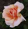 Peach Coloured Rose...............