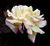 Creamy Rose with.............