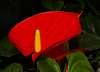 Big Red Thurillium,