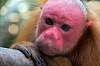 Endangered Red Uakari Monkeys, Amazon, Peru