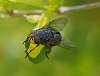 Blue Tailed Blowfly..............