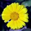 Missing a Petal..............