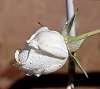 Arctic White Rose Bud...........