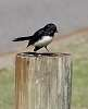 Willy Wagtail on a post.................
