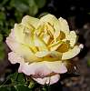 Another Summer Rose for Kerrowdown...............