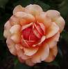 Apricot Rose...............