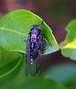 Small Black Cicada..........