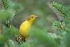 Newfoundland yellow warbler