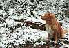 Nova Scotia Duck Tolling Retriever in the snow