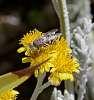 Very small Native Bee........