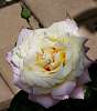 Shaded dual toned Rose........