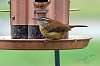 Carolina Wren at the feeder