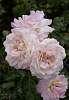Big Rose Cluster........